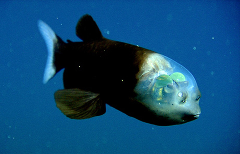 fish transparent head barreleye pictures big Giant Stingray and Fish With Transparent Head
