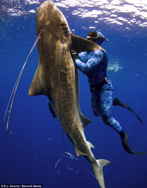 Diver Craig Clasen grapples with a 12ft tiger shark to protect a friend