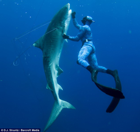 tiger shark diver2 Diver Fights and Kills 12 ft. Tiger Shark (Photos & Video)